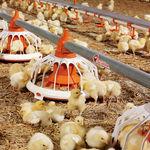 bandeja de alimentación para aves de corral / de plástico / multiacceso / fijada al suelo