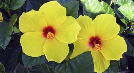 Plant floral vivace / pour pot / pour jardin - Hibiscus Tradewinds ...