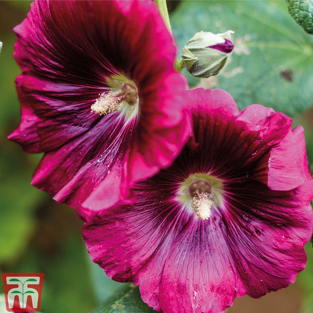Semence De Fleur Vivace Pour Jardin Hollyhock Thompson Morgan