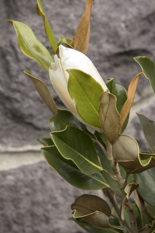 Flower Bed Flowering Shrub White Flowers 5943 Monrovia Videos