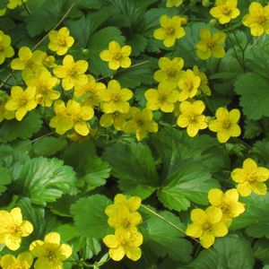 Perennial floral plant yellow for gardens for flower beds perennial floral plant yellow for gardens for flower beds geum fragarioides mightylinksfo