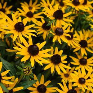 Perennial floral plant yellow to cut for flower beds perennial floral plant yellow to cut for flower beds rudbeckia fulgida var sullivantii little goldstar mightylinksfo