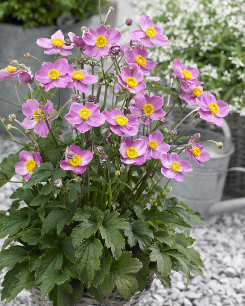 Perennial Floral Plant Pink For Pots For Gardens Cinderella