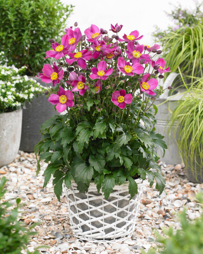 Perennial Floral Plant Pink For Pots For Gardens Red Riding
