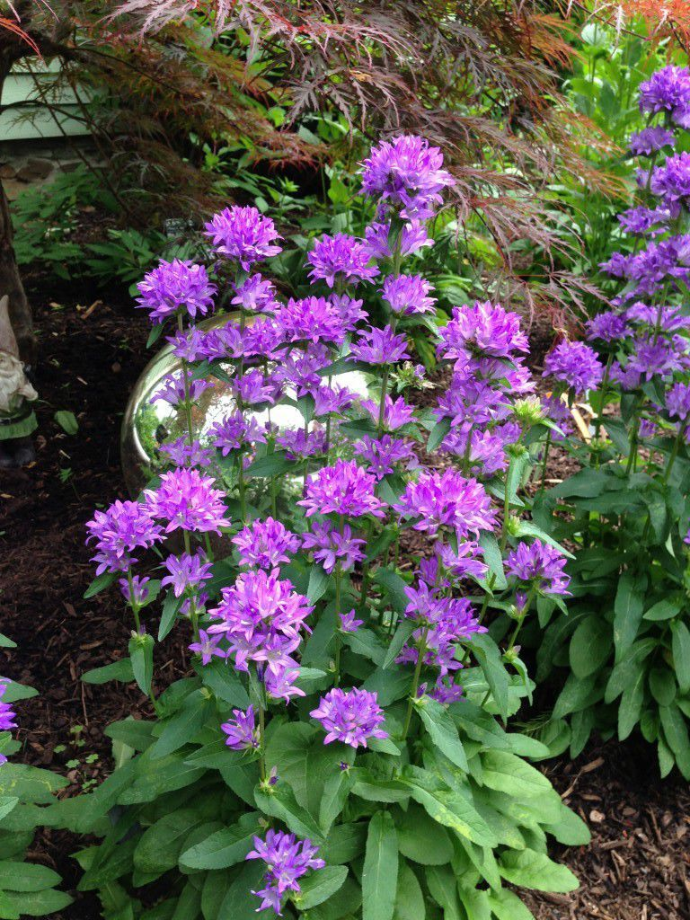 Perennial Floral Plant Purple For Pots To Cut Freya Plants