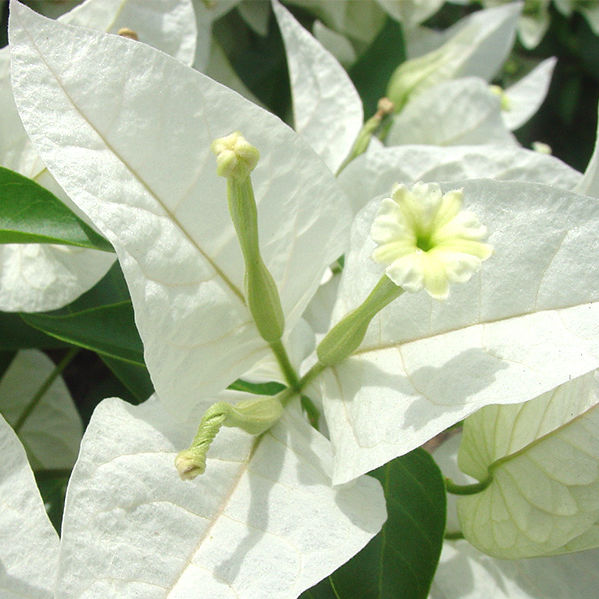 Perennial floral plant white climbing plants rijnstar white perennial floral plant white climbing plants rijnstar white mightylinksfo