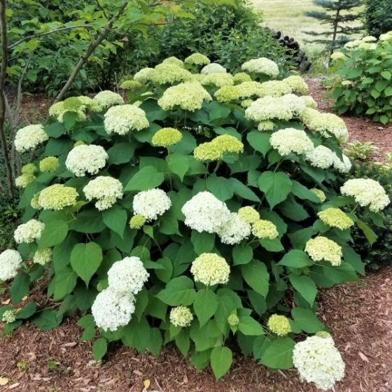 Hedge flowering shrub white flowers annabelle hydrangea hedge flowering shrub white flowers mightylinksfo