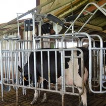 Cow feed stall / in milking parlor