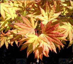 Deciduous Tree Acer Shirasawanum Autumn Moon Fisher Farms Llc
