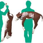 dystocia veterinary simulator / trauma / care / cow