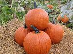 powdery mildew resistant pumpkin seed / hybrid