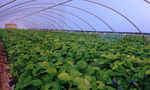 single-span greenhouse / commercial production / steel frame