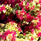 perennial floral plant / red / climbing plants