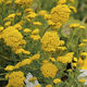 annual floral plant / yellow / for gardens / deer-resistant
