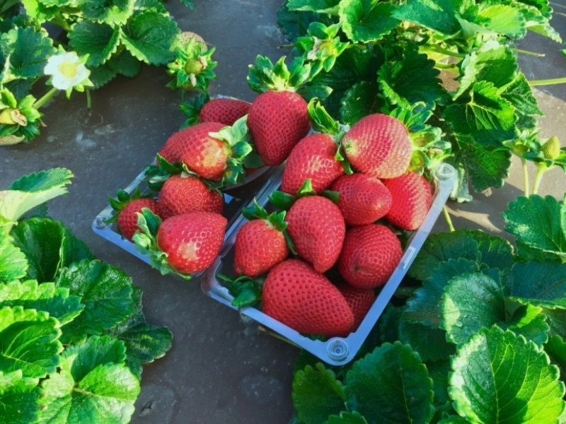 Agreement Licenses California Strawberry Varieties Across Globe 1