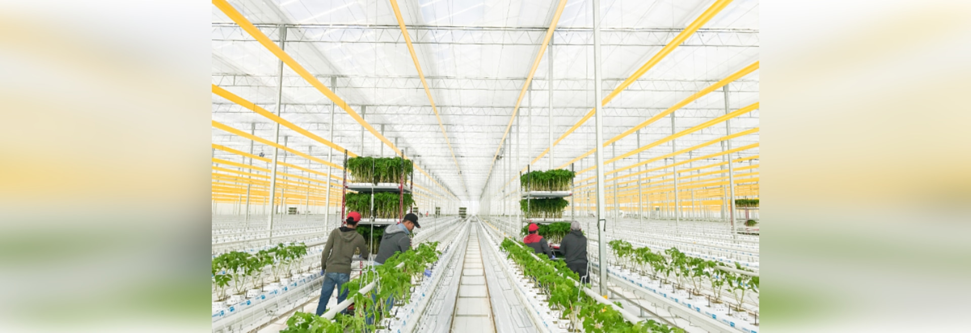 Innovation funding for greenhouse automation research welcomed