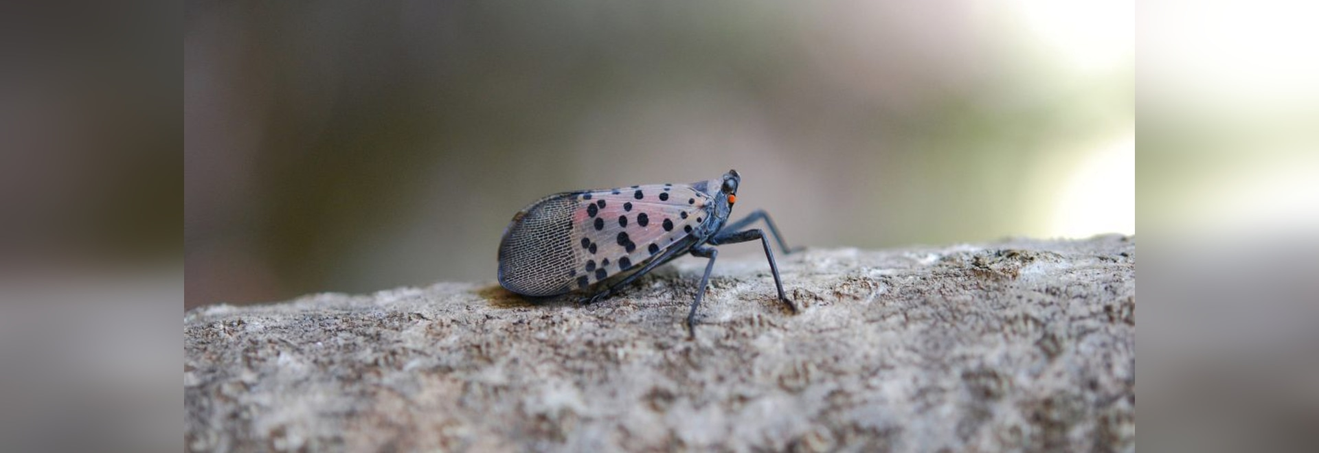 Spotted Lanternfly by U.S. Department of Agriculture (Photo courtesy of Bugwood) [CC BY-SA 3.0