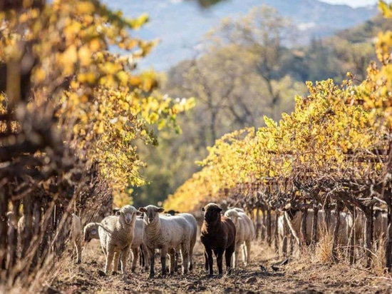 Why thousands of sheep visit these organic California vineyards every winter