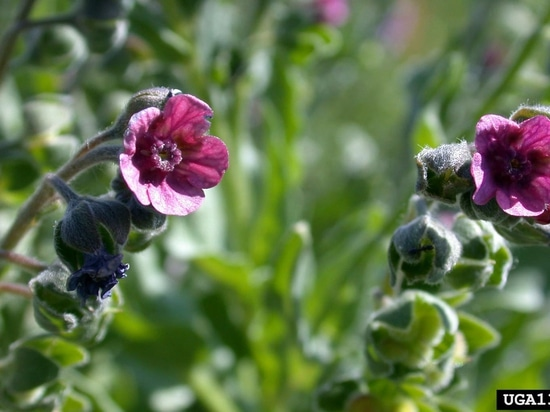 North Dakota adds 2 new pests to noxious weeds list