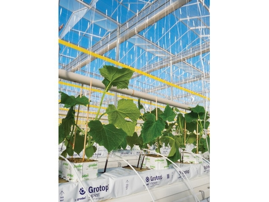 Pure Hothouse cucumber plants in early January. ( Courtesy Pure Hothouse Foods )