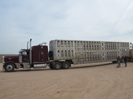 A petition filed to the Department of Transportation (DOT) by livestock groups is seeking more flexibility to hours of service regulations. ( Wyatt Bechtel )