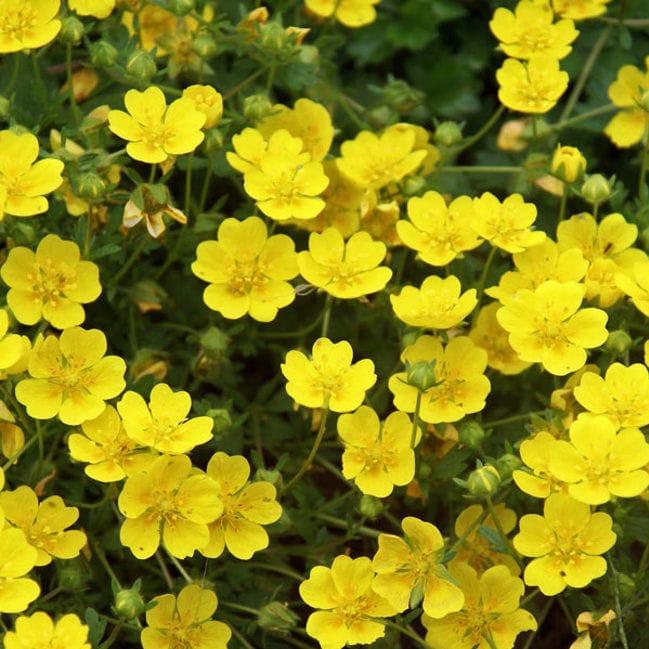 pianta da fiore Perenne / giallo / da vaso / per giardino , PONE