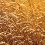 平均デュラム小麦の種子 / 春 / サビ病抵抗性 / 平均草高