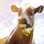 sistema de monitoramento para rebanho / para vacas / do estado clínico