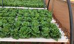 bancada de cultivo para subirrigação