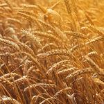 semente de trigo duro média / de primavera / resistente à ferrugem / planta de altura intermediária