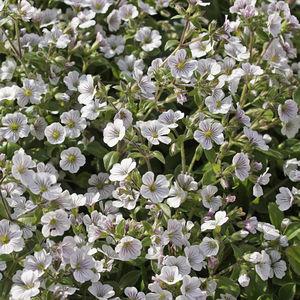 Staude-Blumenpflanzlinge