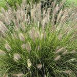 Staude-Grünpflanze