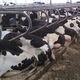 colchón para vacas colchón de agua / para casillas