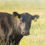 étiquette d'oreille pour bovins