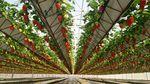 système hydroponique pour culture de fraises