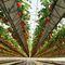 système hydroponique pour culture de fraisesNEW GROWING SYSTEM S.L.