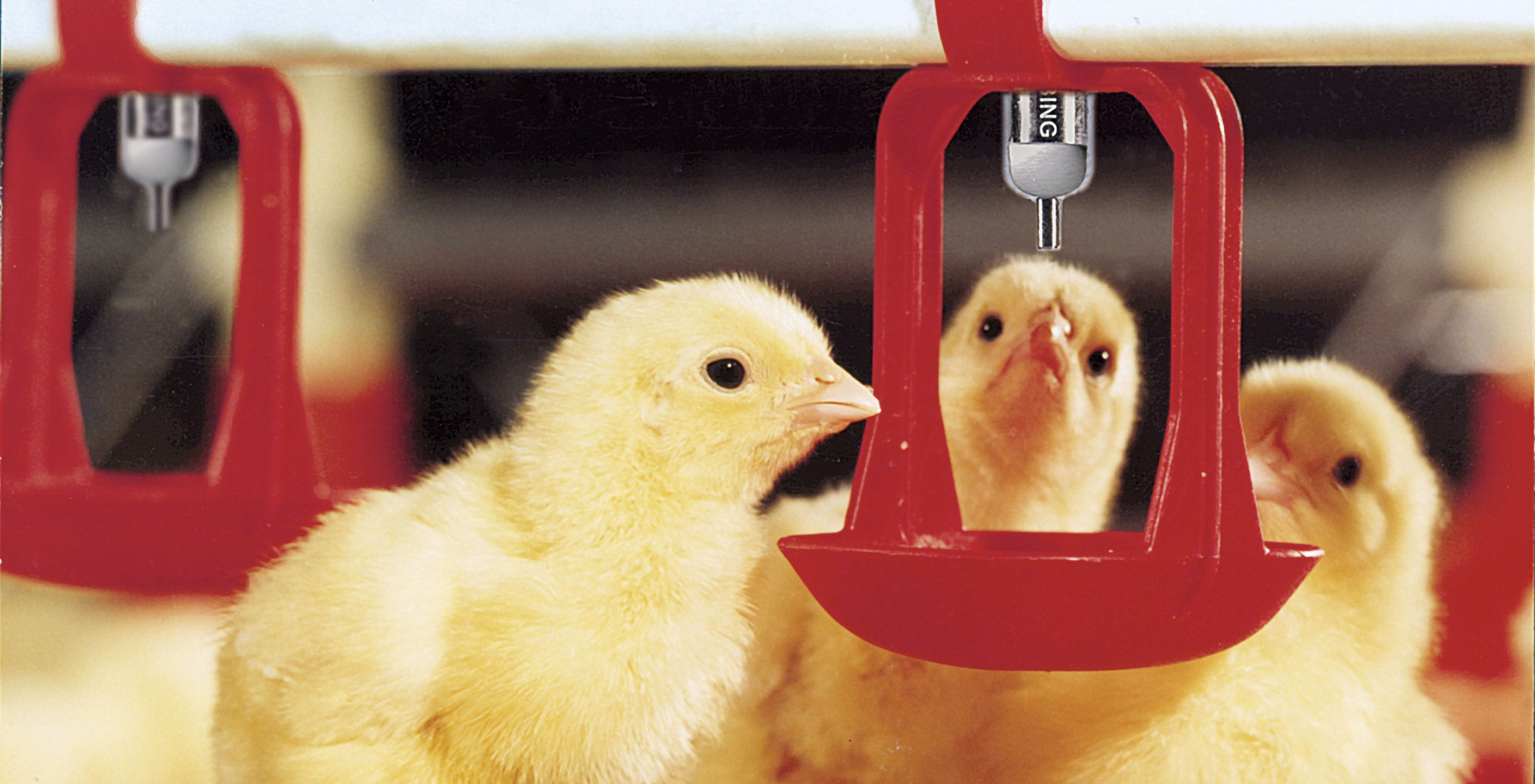 Poultry waterer / bowl / plastic / with nipple drinker - O