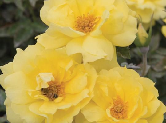 Yellow floral plant / for pots / hybrid / fragrant - Anthony