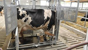 cows cattle crush