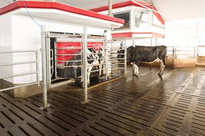 cows milking robot