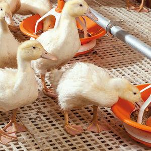 plastic floor panel / for poultry breeding