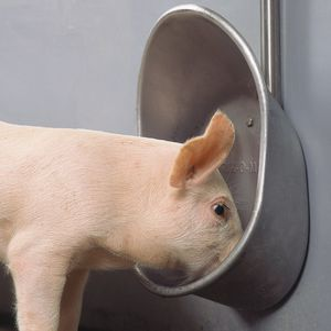 swine drinker