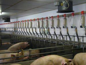sow automatic feeding system