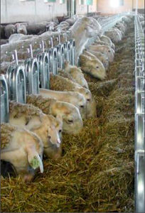 sheep feeding equipement