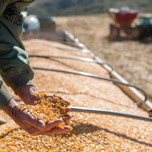 very early corn seeds