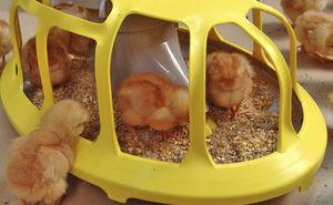 chick trough