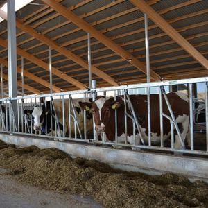 cattle headlock / self-locking