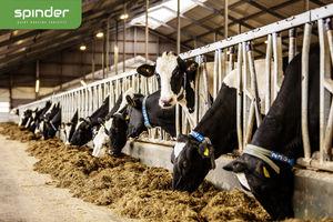 cows headlock