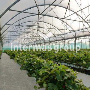 greenhouse film / low-tunnel / UV-resistant / transparent