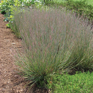 perennial green plant / for gardens / for flower beds / rustic
